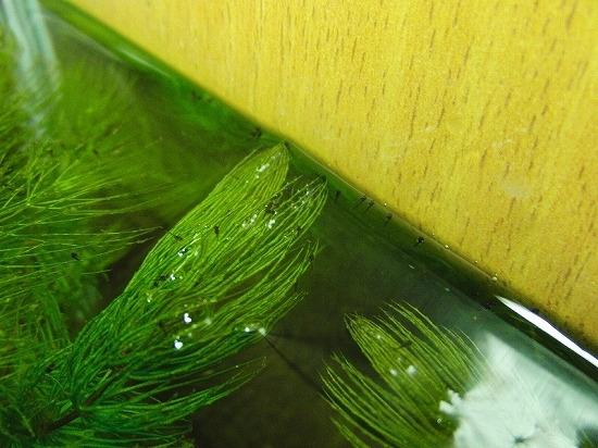 レッド イット ビー-ハニードワーフグラミー 稚魚